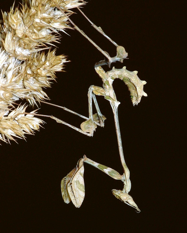 hatalmas hanyag virág parazita Ázsiából