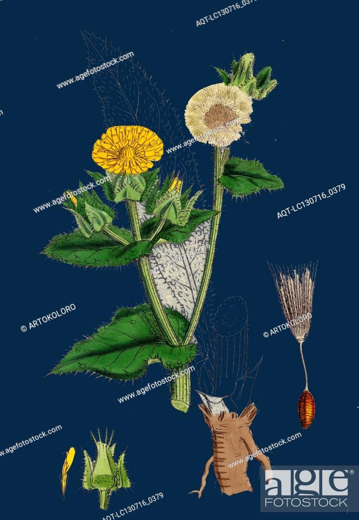 helminthia echioides)