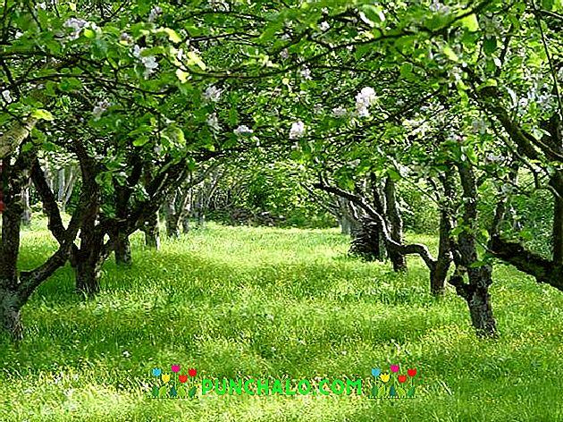Hogyan kell a gyümölcsfákat permetezni a betegségekről és kártevőkről? - Bogyók