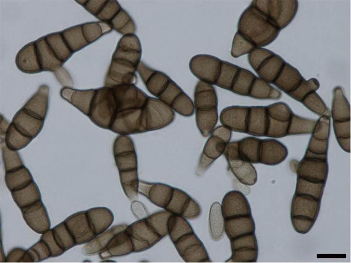 klasifikasi helminthosporium turcicum