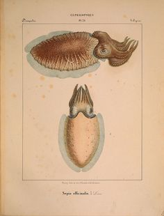 a laposférges paraziták fajai