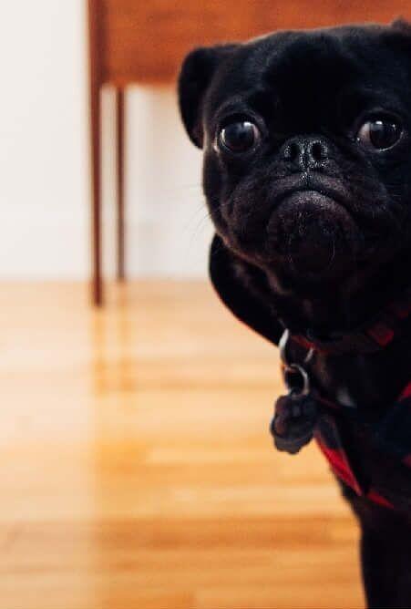 Betegségjelző tünetek a kutyáknál, hogy felismerd, ha baj van! Mopsz rossz lehelet