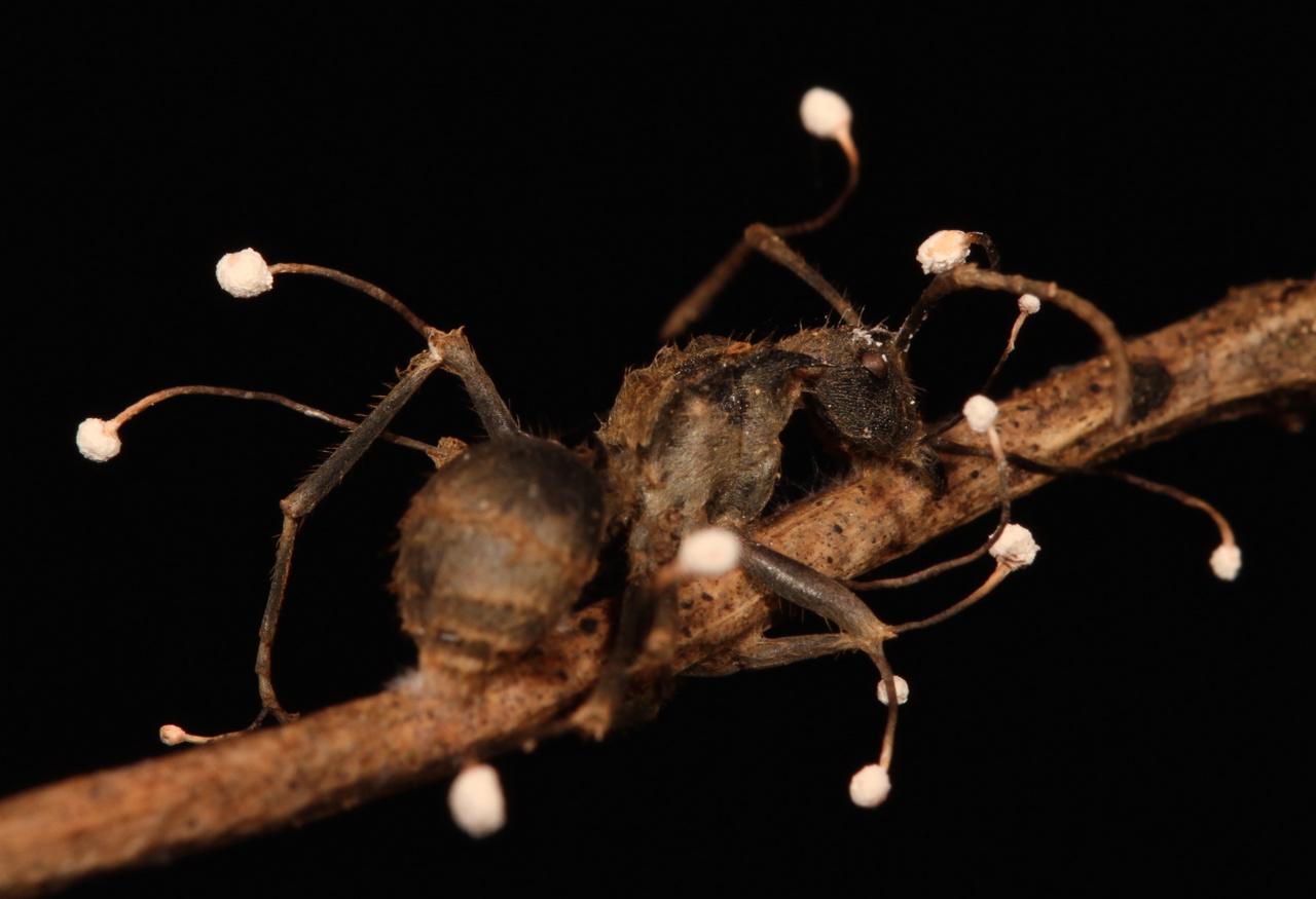 parazita spórák