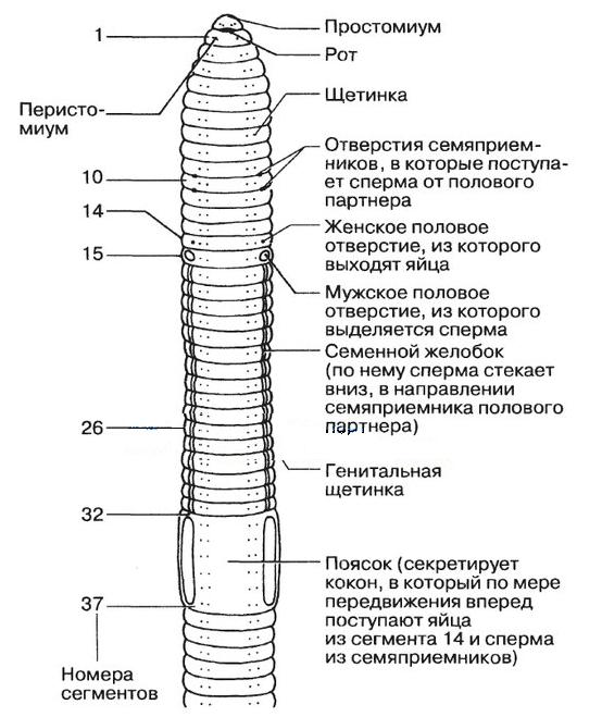 Pinworm életciklus diagram, Human pathogen férgek