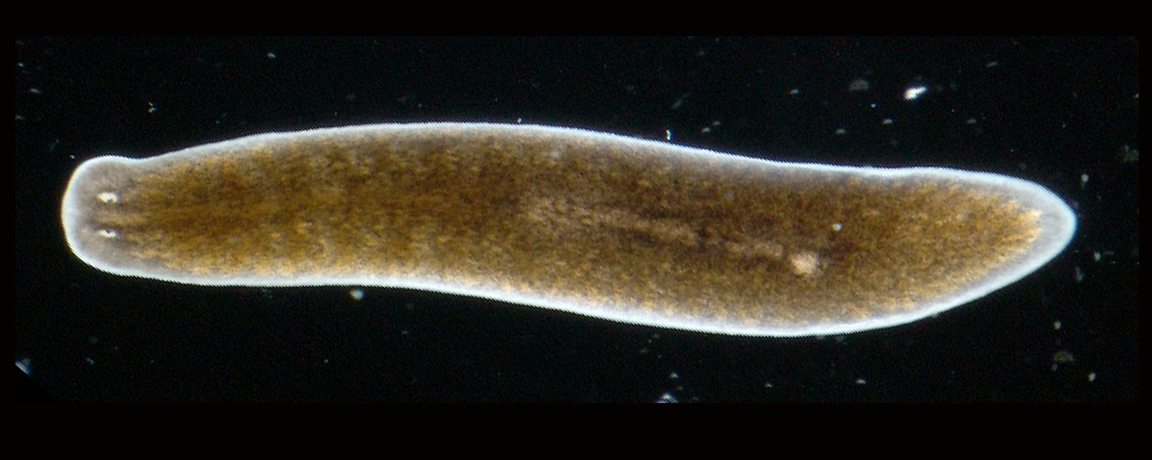 platyhelminthes turbellaria példák