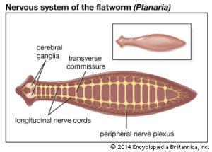 platyhelminthes és fonálférgek diagram