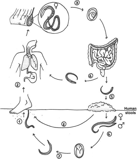 strongyloidosis és teniosis)
