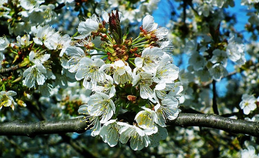 virág szalagféreg