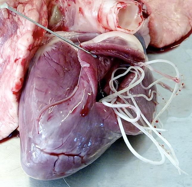 szivféreg ultrahang