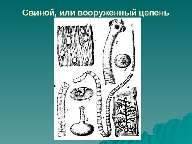széles szalagféreg hermaphroditikus proglottid)