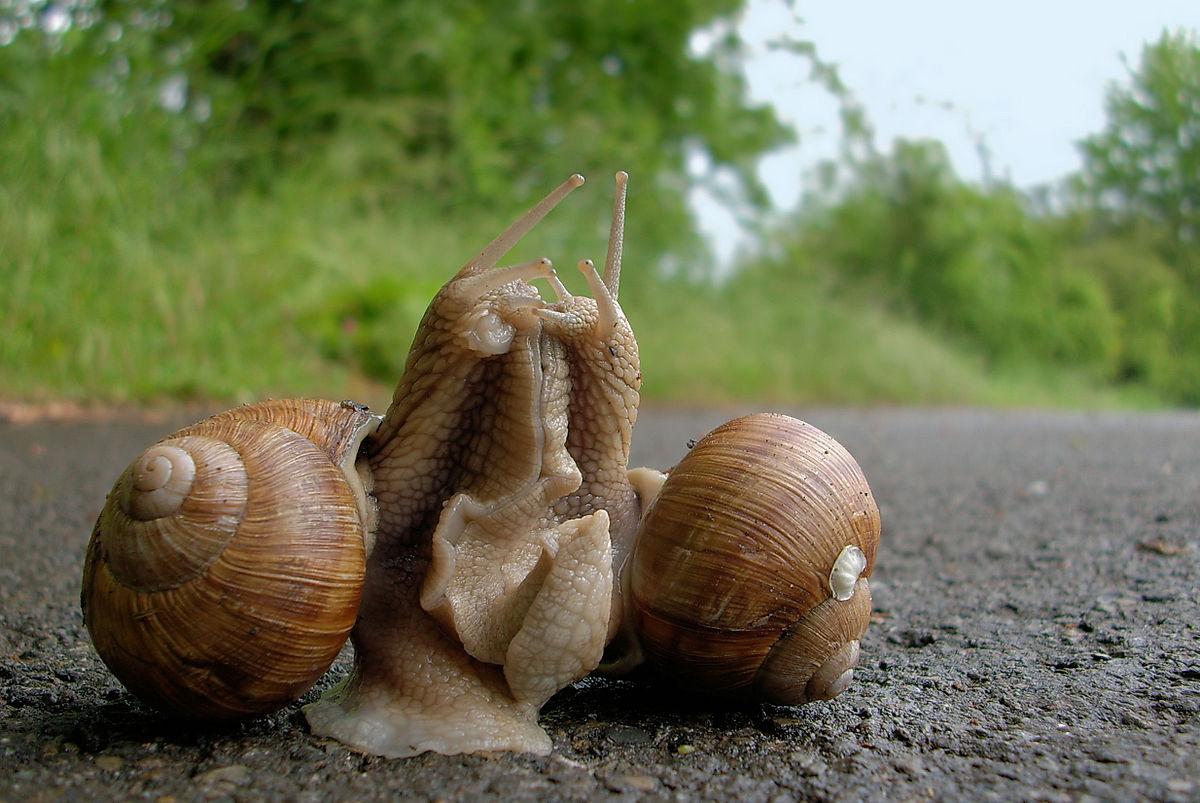 Index - Tudomány - Vérmételykórt terjesztő csigákat találtak Romániában
