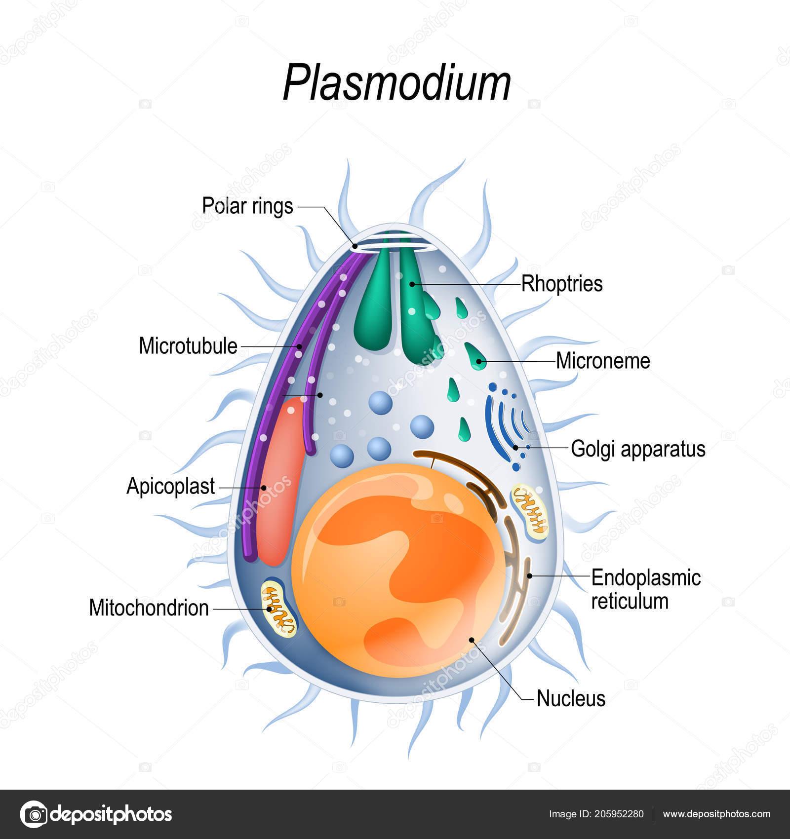 protozoaires paraziták humán)