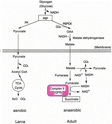 Szalagféreg uborka fejlesztési ciklusa
