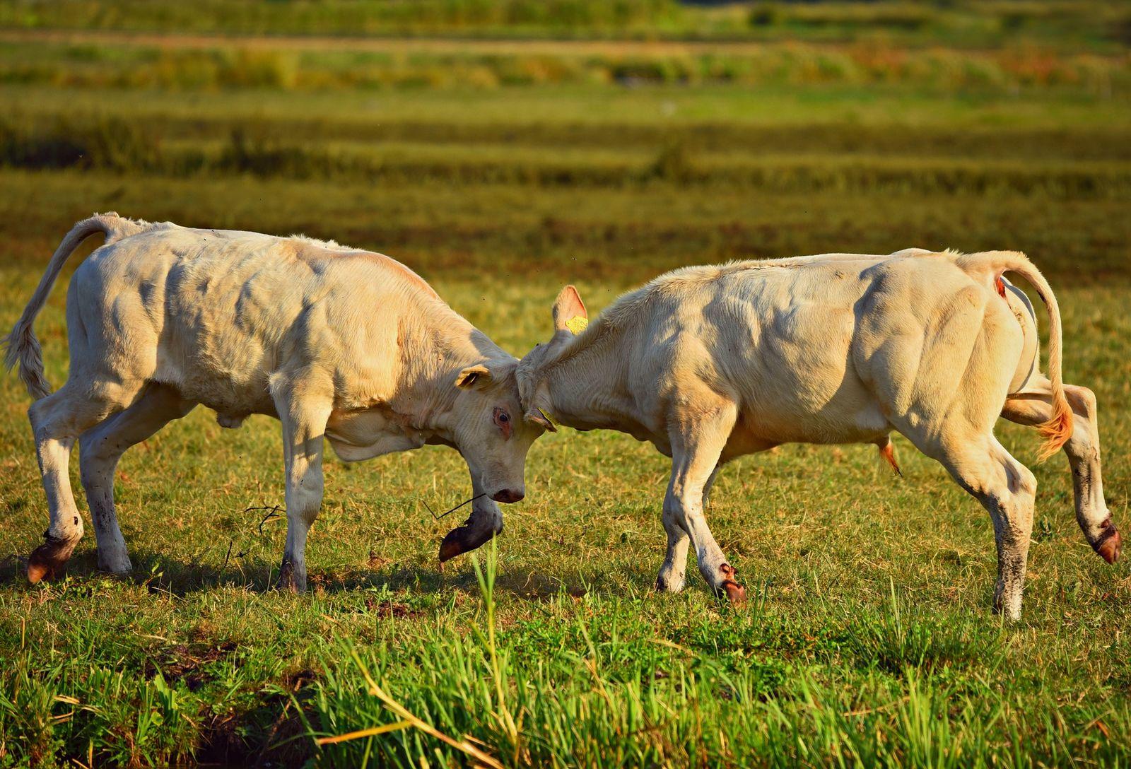 ábrázolja a bika láncának fejlődését)