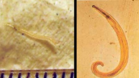 Hogyan történik az enterobiosis?, A Magyarországon előforduló féregfertőzések