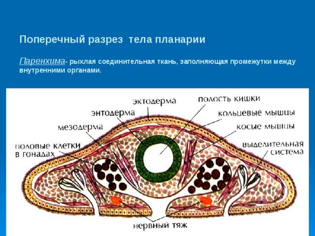 a kerek féregnek speciális kapcsolódási szervei vannak)