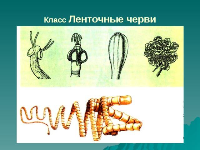 kerekesférgek fejlődése a gazda megváltozásával)