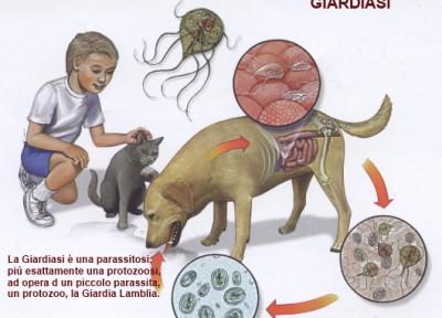 Giardia máj diéta