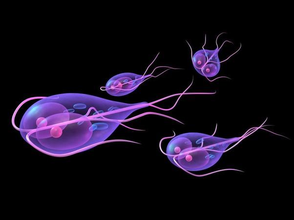 kis helminták a giardiasis ápolási szintje