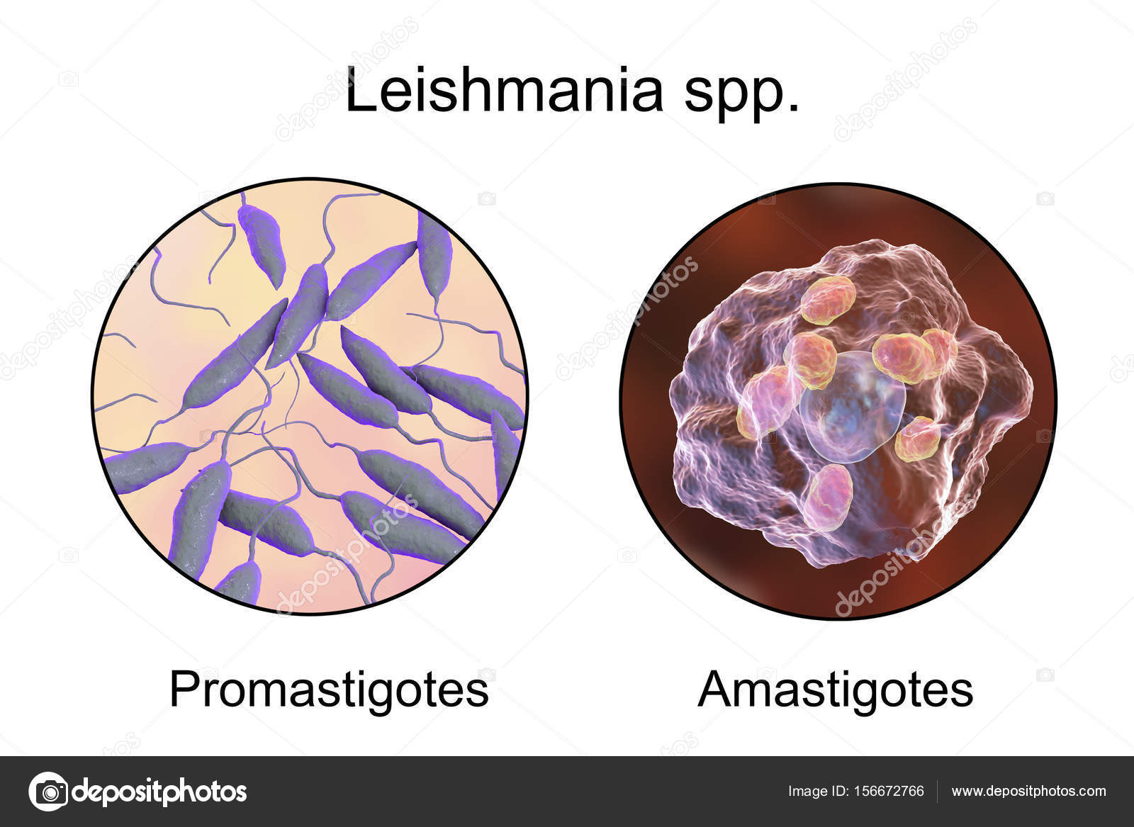 leishmania paraziták)