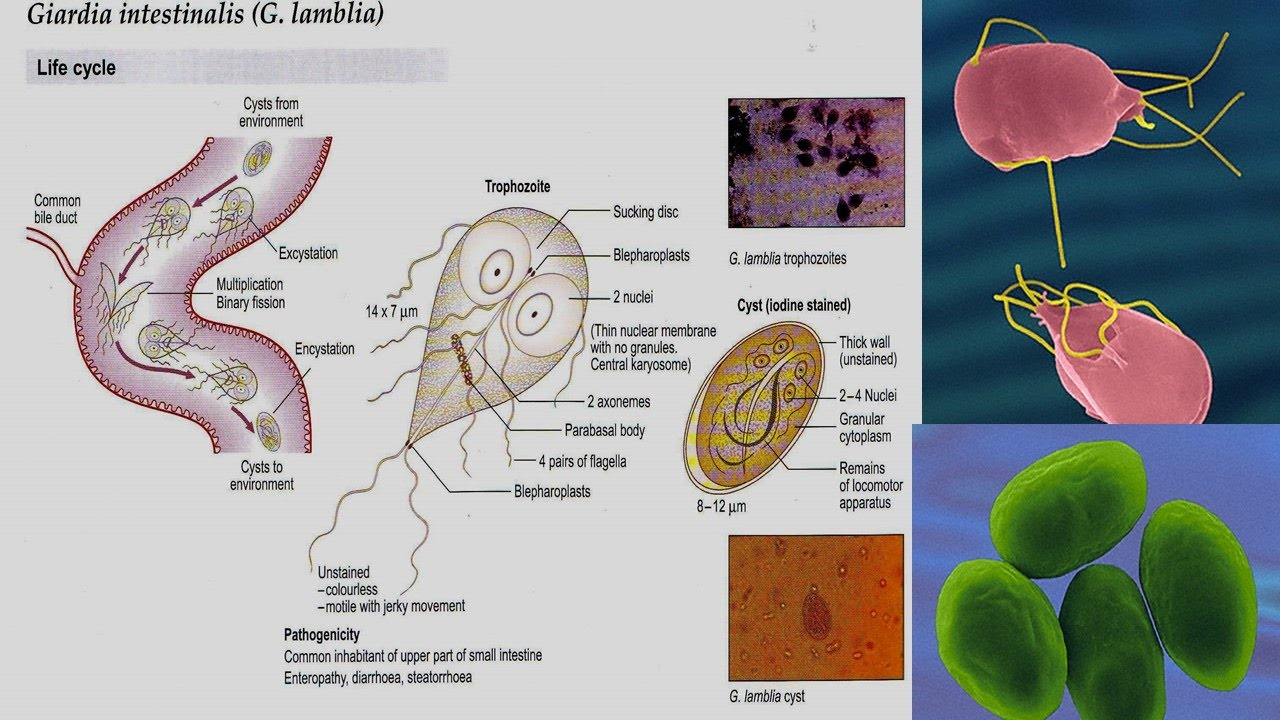 giardia bacteria in humans