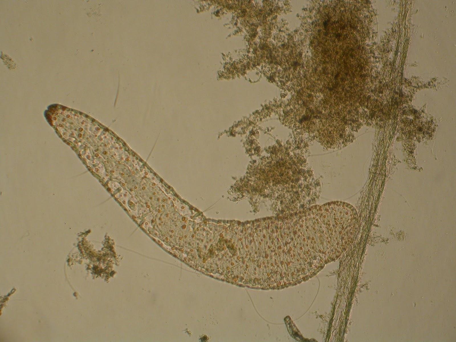 a kerekes féreg taxonómiája