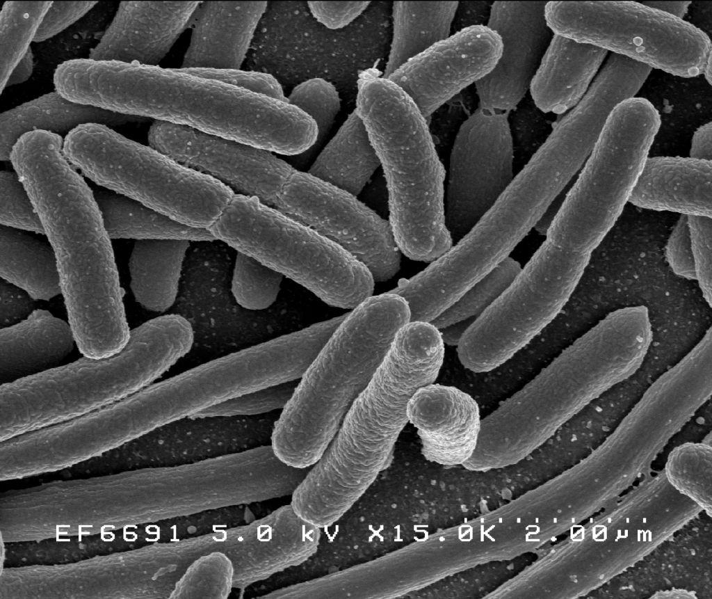 a bakteriális paraziták példák