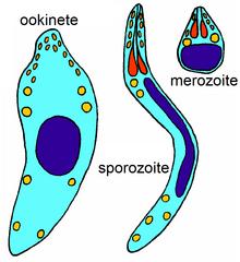 apicomplexan protozoan paraziták)