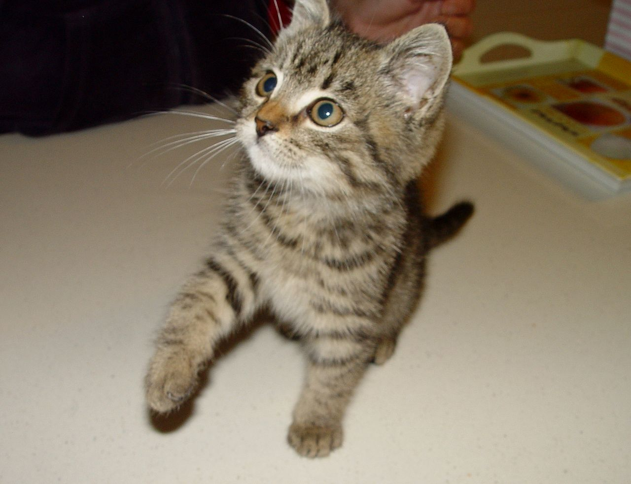 macska fereg