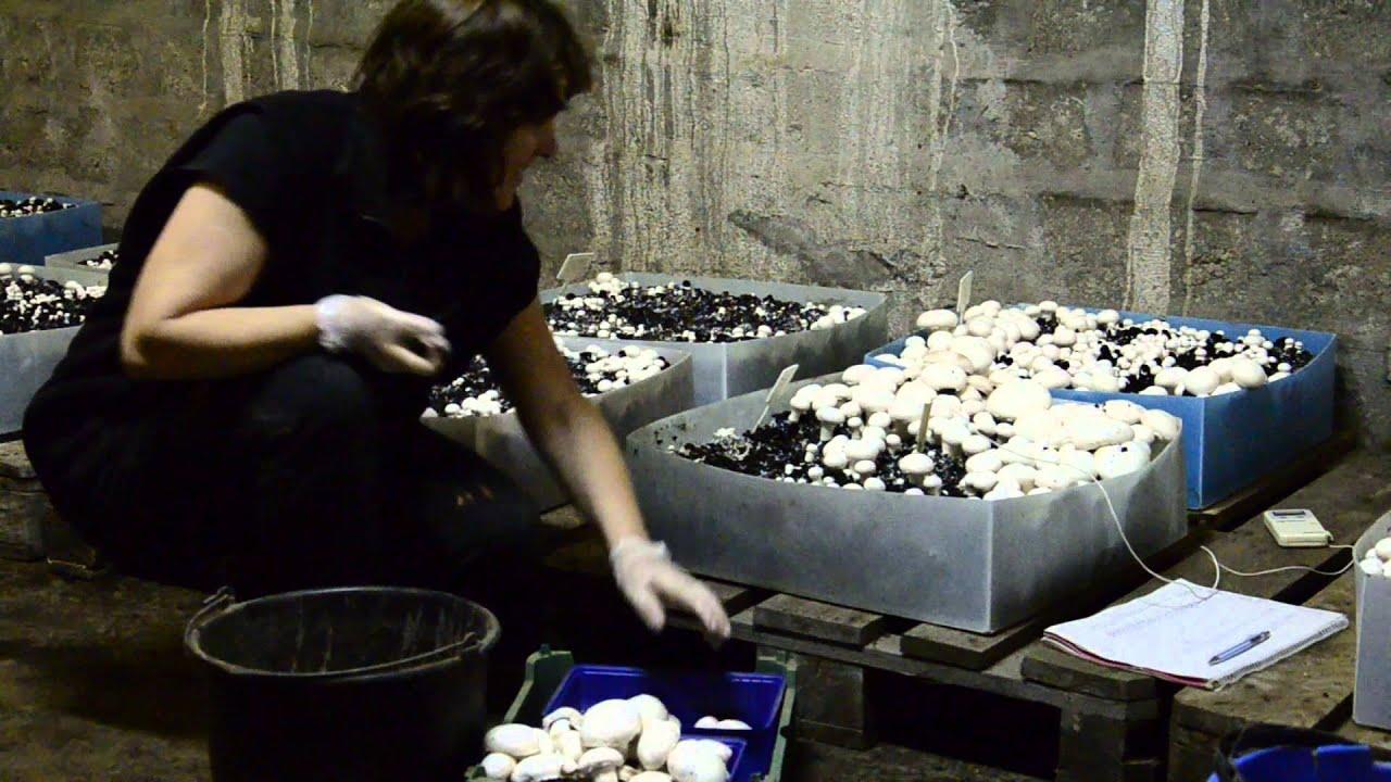 Gomba parazita kócos, Élősködő – Wikipédia