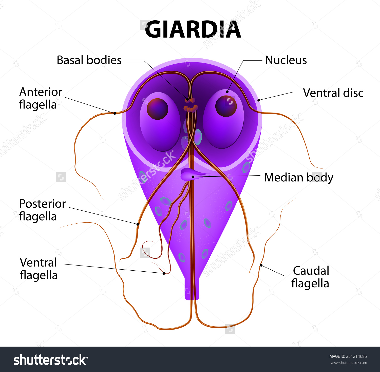 Giardiasis diéta a menü kezelésében)