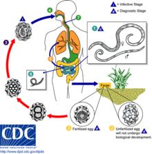 Ascaris biohelminth vagy geohelminth