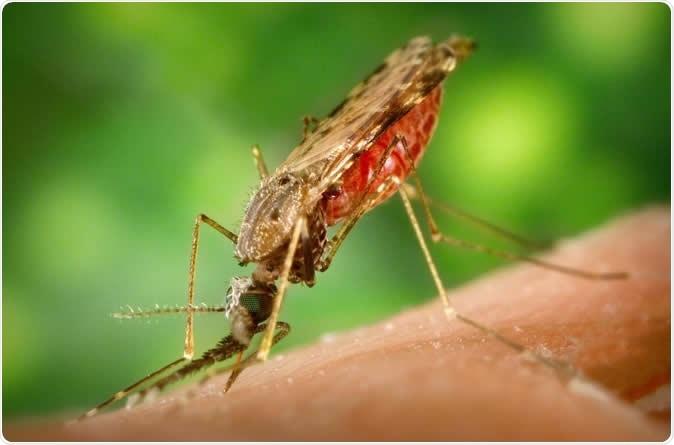 Kisállatorvos - Lepkeszúnyog – a nálunk kevésbé ismert élősködő