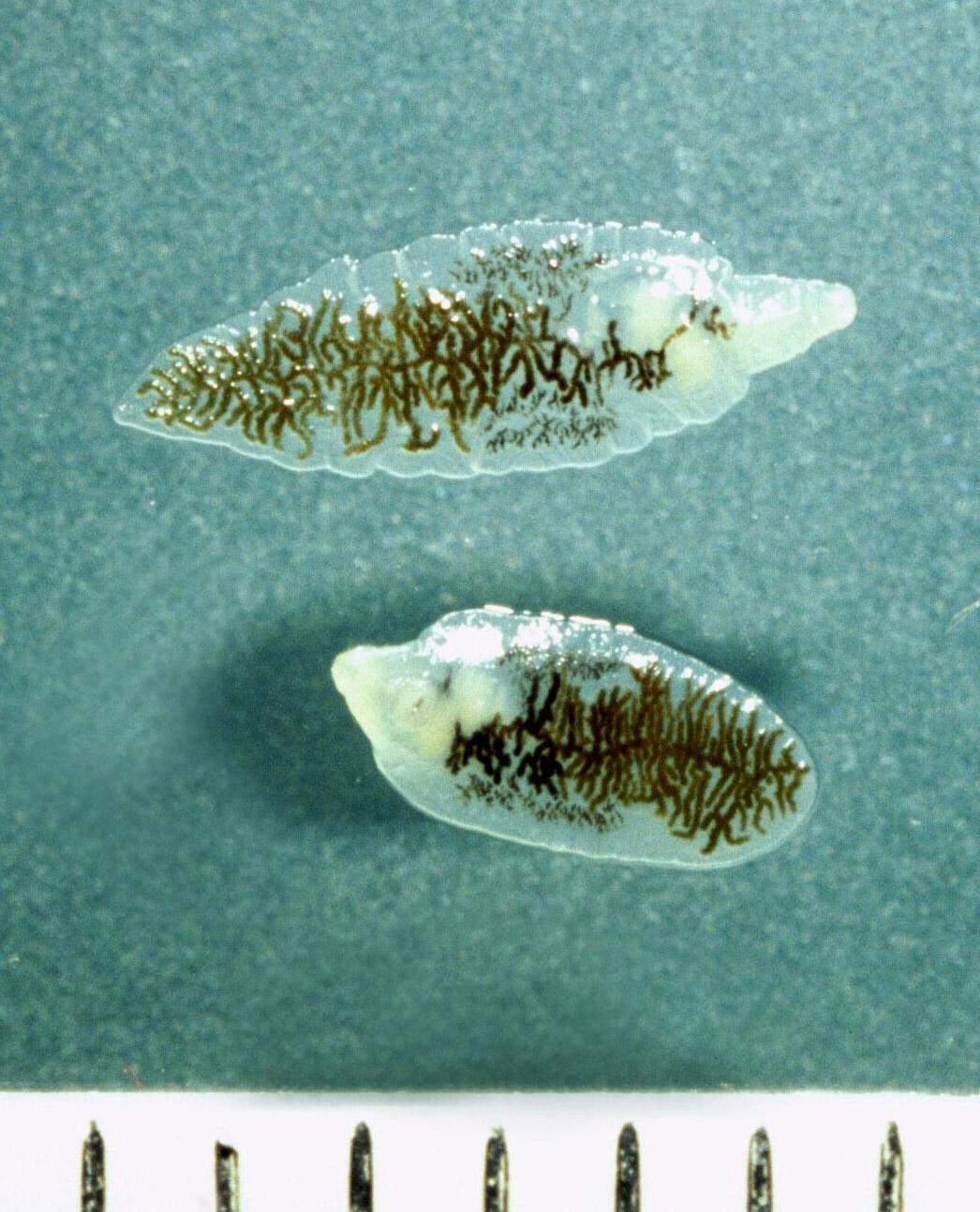 Enterobiosis honnan származik, Pinworm: tünetek és kezelés