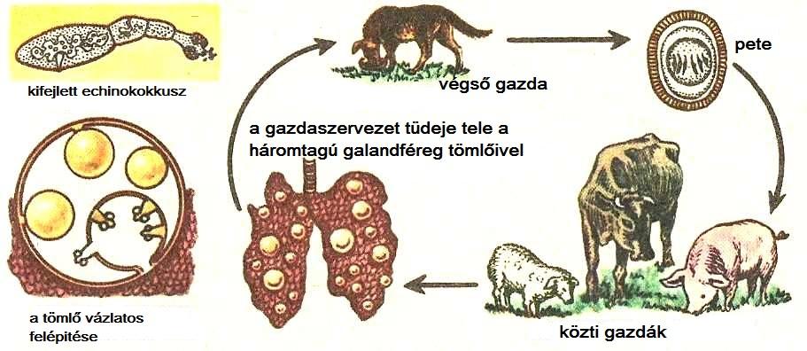 férgek fejlődése)