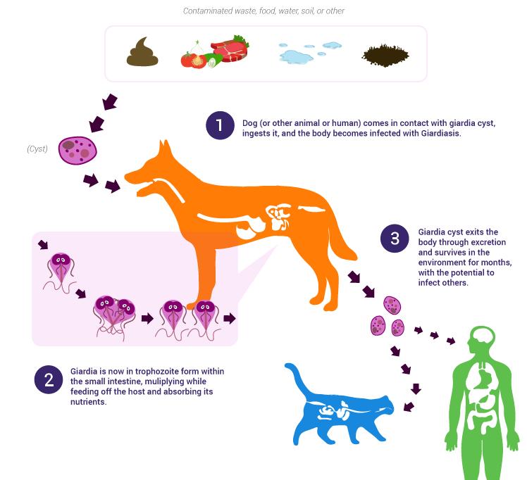 giardia parasiet bij honden