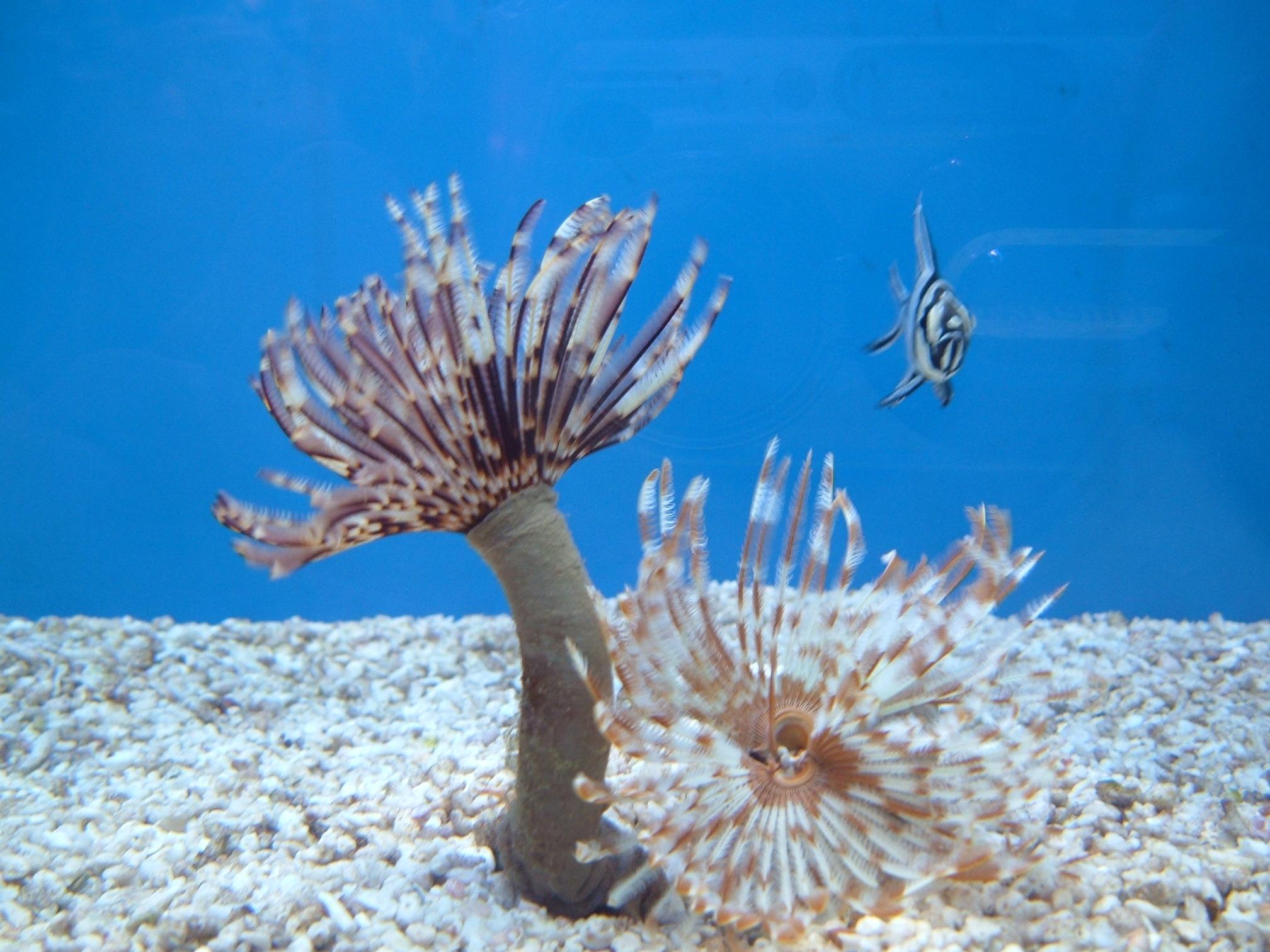 tengeri gyurusféreg)