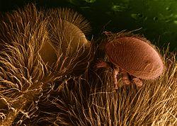 élősködő gombák)