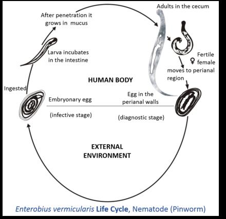 pinworms host