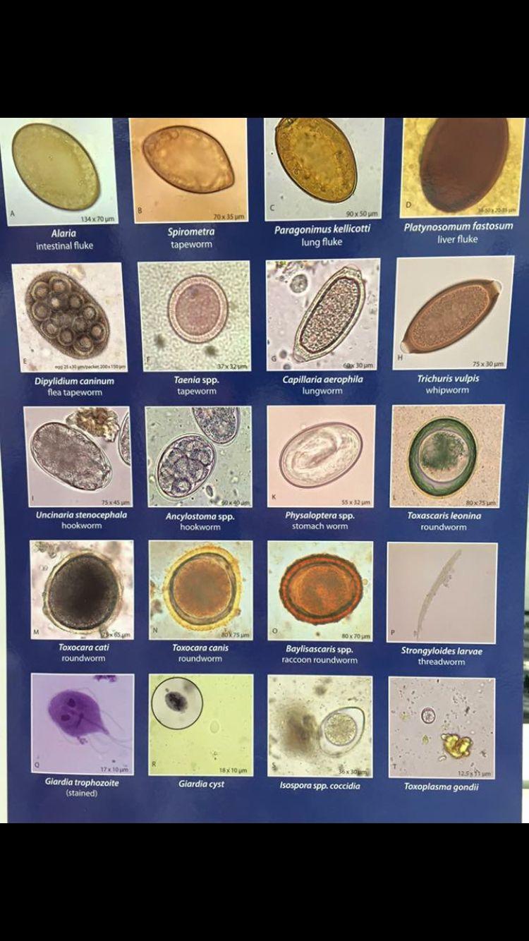 A pinwormok kezelése: tünetek és gyógyszerek - Kezelés
