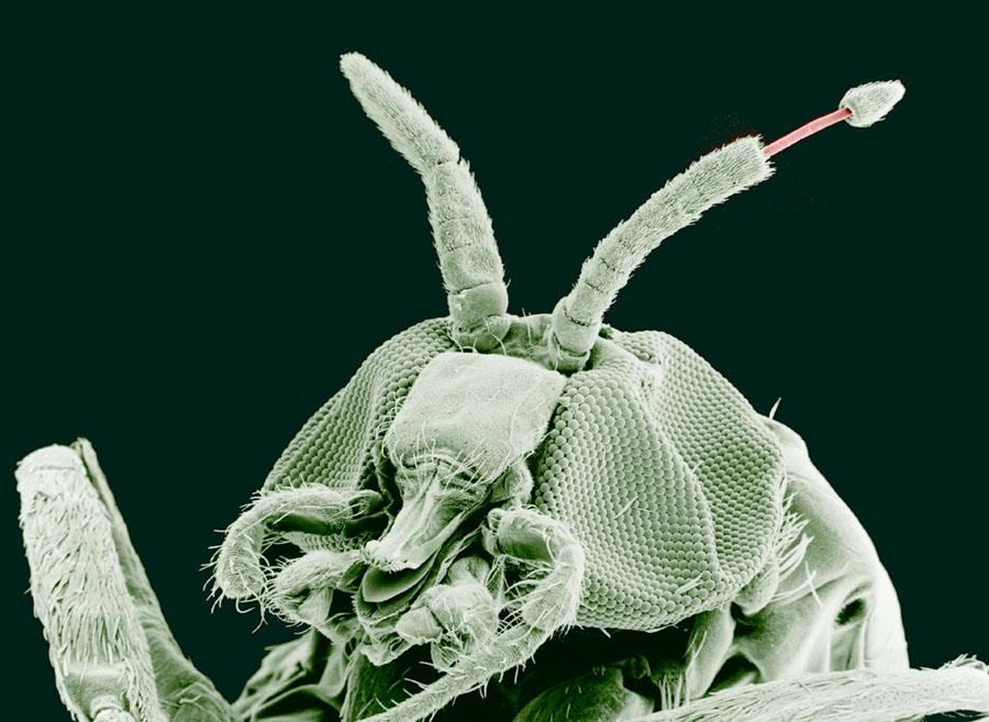 Pinworm patogenezis. Féreg lárvákból származó tabletták