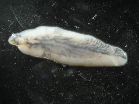 fascioliasis taxonómia Ascaris parazita kezelés