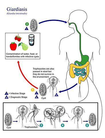 Cdc giardia fact sheet. Giardia cdc life cycle