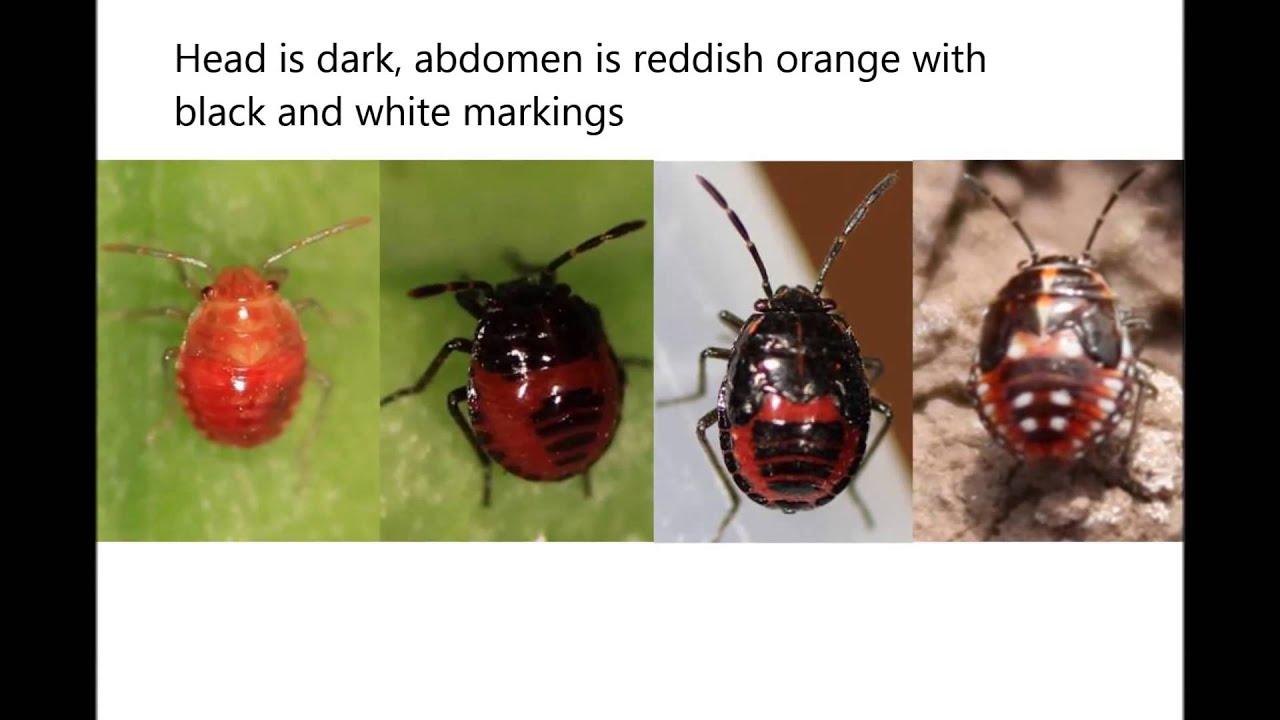 legkisebb paraziták