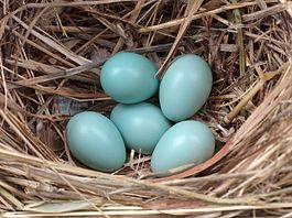 pinworm tojások, milyen méretű néz ki)
