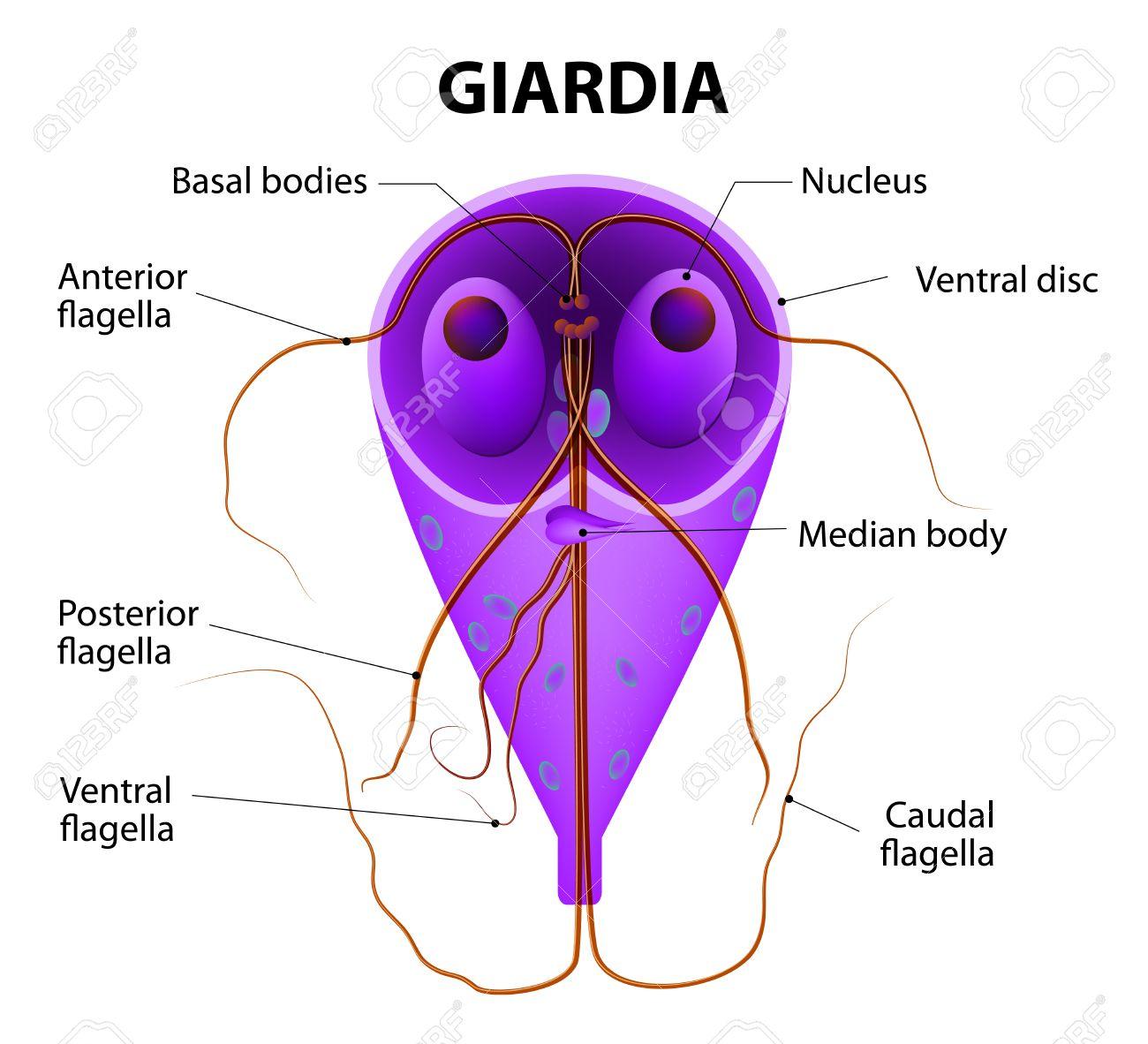 férgek kezelése laktáció alatt kezelés opisthosemiával giardiasis esetén