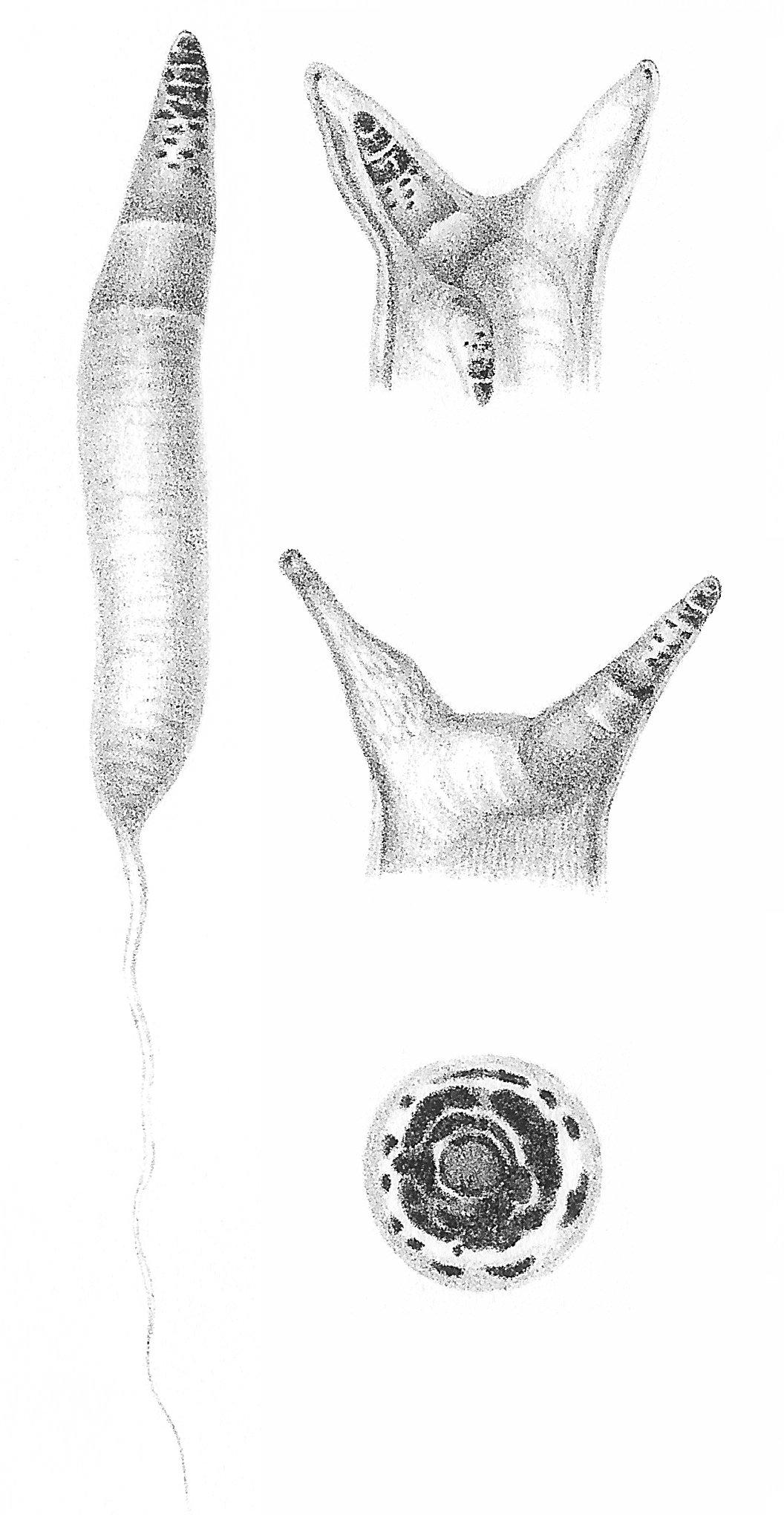 filo platyhelminthes élőhely
