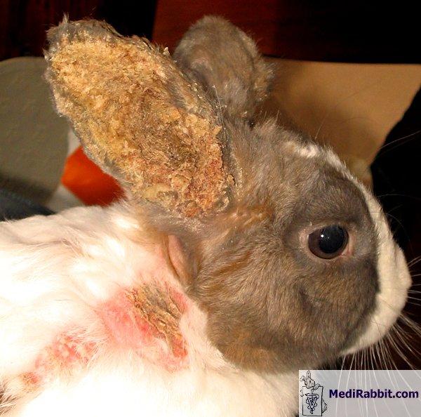 fül parazita kezelése)