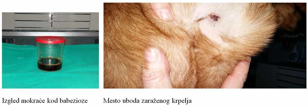 giardia kod pasa terapija