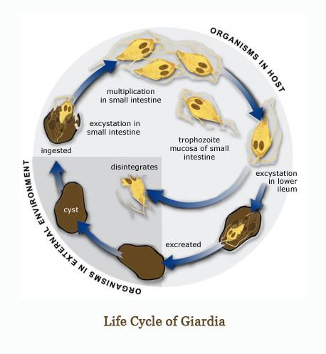 Giardia nell uomo sintomi, Giardia máj diéta